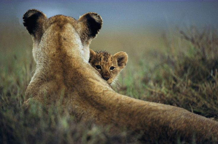 Maternal ProtectionA lioness sits with her cub in Tanzania's Ngorongoro Conservation Area. PHOTOGRAPH BY MARK C. ROSS, NATIONAL GEOGRAPHIC CREATIVE