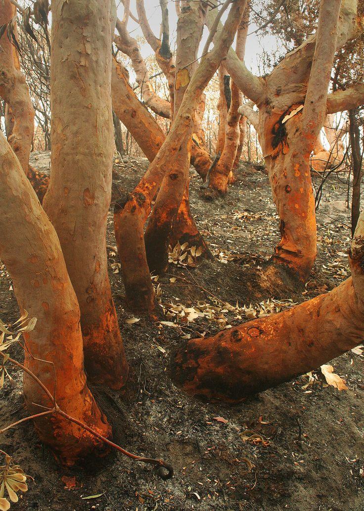 Angophora trunks after a bushfire.