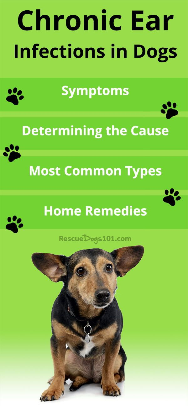 Chronic Ear Infections In Dogs Dogs Ears Infection Dog Care