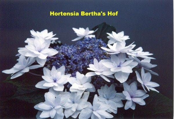 Hydrangea macrophylla 'Vuurwerk wit'