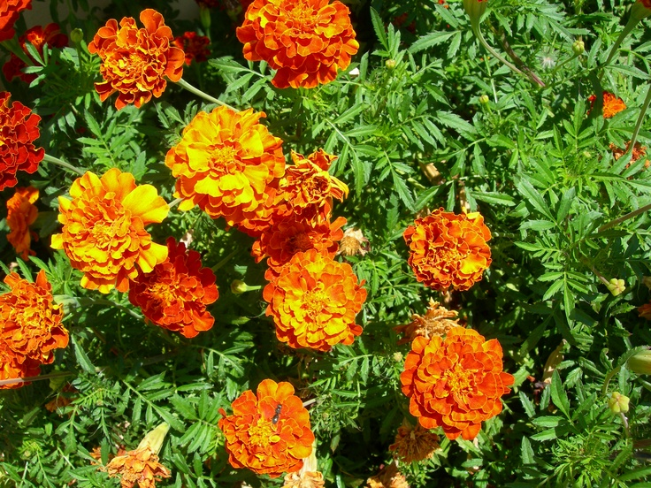 our marigolds...wow!!