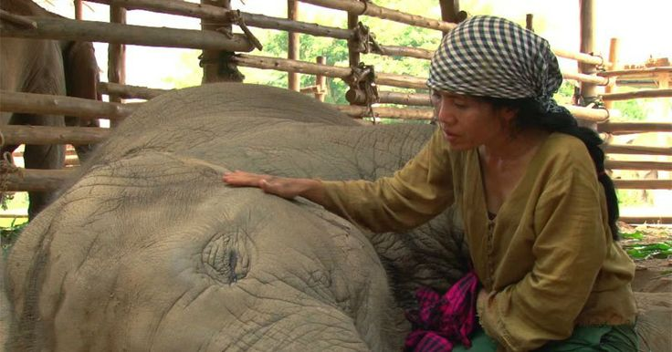 Located just outside of Chiang Mai, Thailand, the Elephant Nature Park provides a safe home for rescued elephants. The foundation's primary objectives are to: increase awareness about the plight of the endangered Asian elephant, educate locals on humane treatment of their elephants, and to provide a sanctuary for rescued and domesticated elephants. In this…