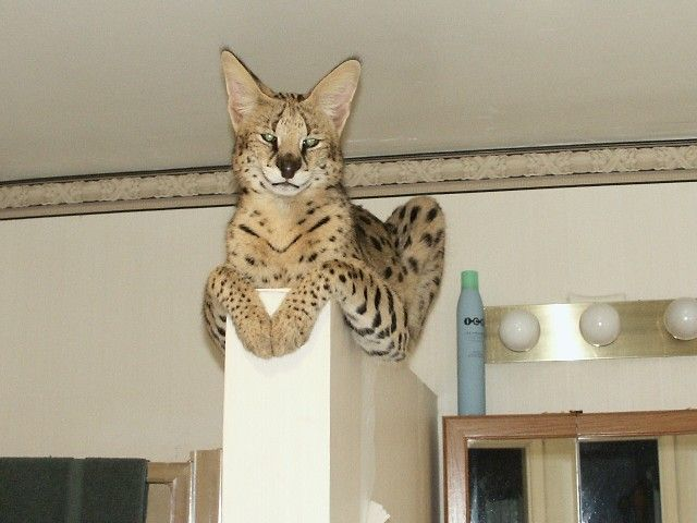 """High Beam"" or Beamer was the first Serval for my Savannah breeding program. This boy has an incredible temperment and bred a few of my girls producing only ..."