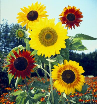 Sunny skies mix of 5 different types of Sunflowers