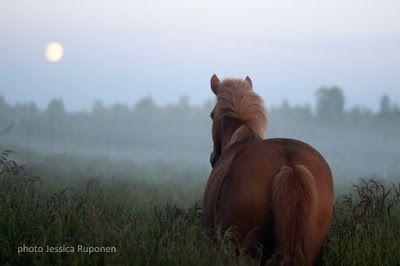 midsummer night, finnhorse, juhannus, suomenhevonen