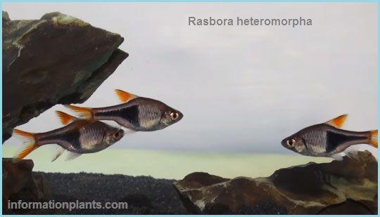 سمك الزينة هارلي كوين Rasbora Heteromorpha سمك زينة انواع الاسماك معلومان عامه معلوماتية نبات حيوان اسماك فوائد Fish Pet Pets Animals