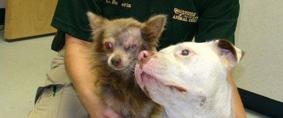 This Pit Bull Carried Her Injured Chihuahua 'Soul Mate' To Safety, Now They Need A Loving Home