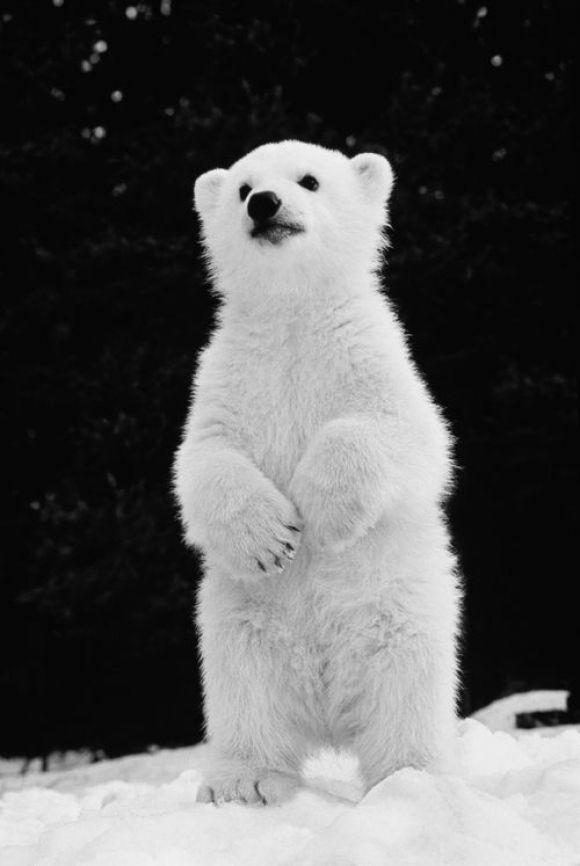 beautiful polar bear baby standing on hind legs