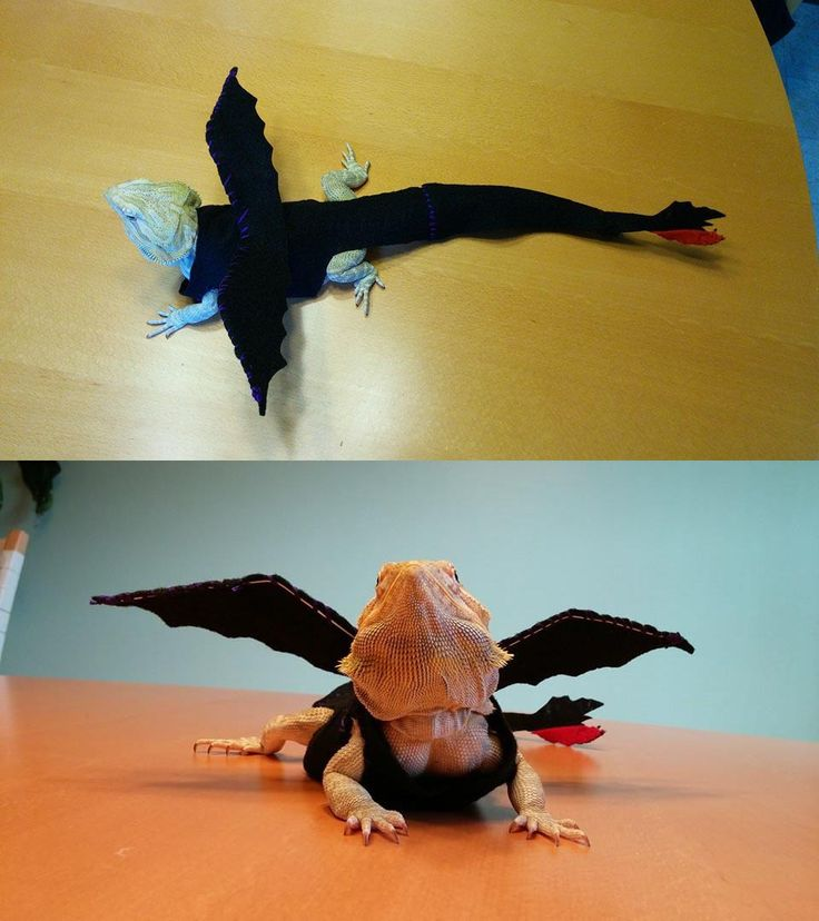 Toothless costume for Cinnamon the bearded dragon, made from felt and bendable wire. This is our older costume, see our newer costume recently posted. Watch a video of Cinnamon in her costume at https://www.youtube.com/watch?v=suMAR996GM0