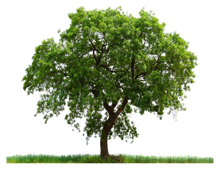 / / . stock PNG tree images that can be superimposed over house photos to plan landscapes