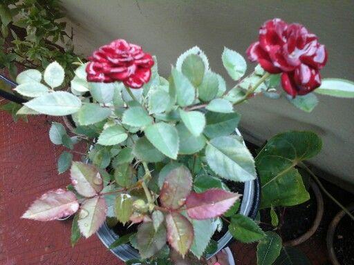 Rosa enana