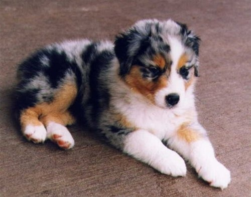 My puppy has close marking to this one, I'm guessing he will look a lot like this mini australian shepherd puppy :)