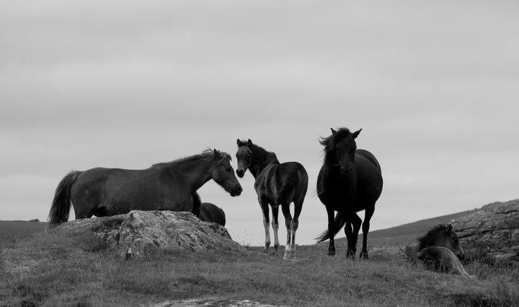 https://flic.kr/p/oWhAHj | Dartmoor Ponies