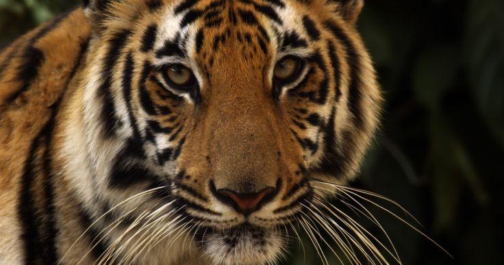 Where semi-aquatic Royal Bengal tigers live among people - The Washington Post