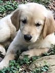 Goblin has been adopted! This is Goblin Pup - 7 weeks. Puppies need obedience and socialization class, mental and physical exercise, training, time, attention, patience and love. Adopt A Golden Atlanta, GA.