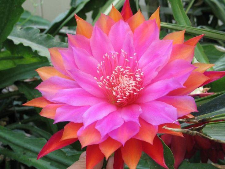 El cactus orquídea, cuyo nombre científico es Epiphyllum, es una planta muy popular debido a la belleza de sus flores, y a su fácil mantenimiento.