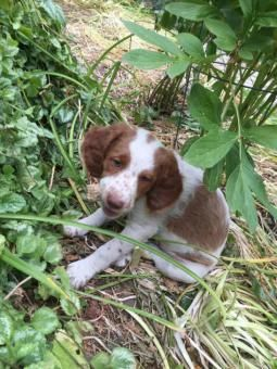8 weeks old male Brittany Spaniel for sale