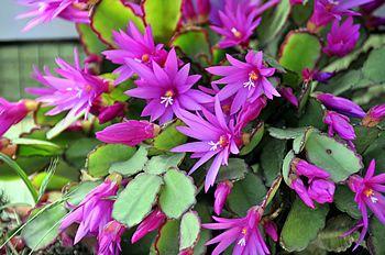 Foto de José María Escolano Rhipsalidopsis rosea, Rhipsalis rosea
