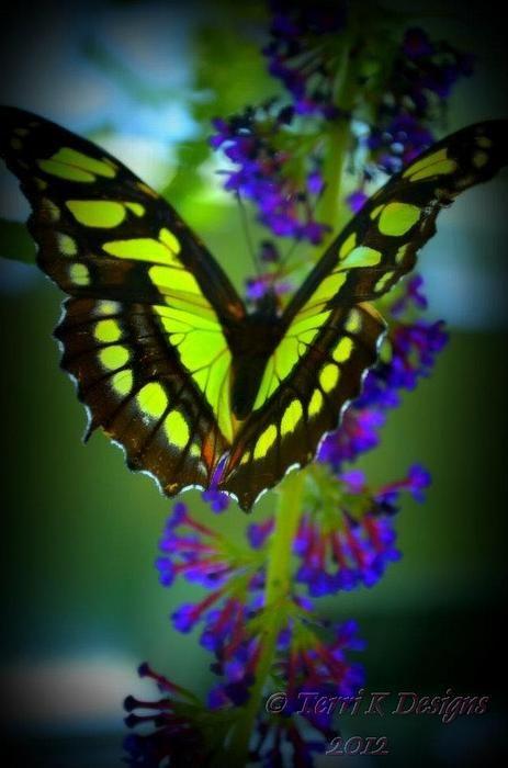 Swallotail Butterfly - by Terri K Designs [Flickr]