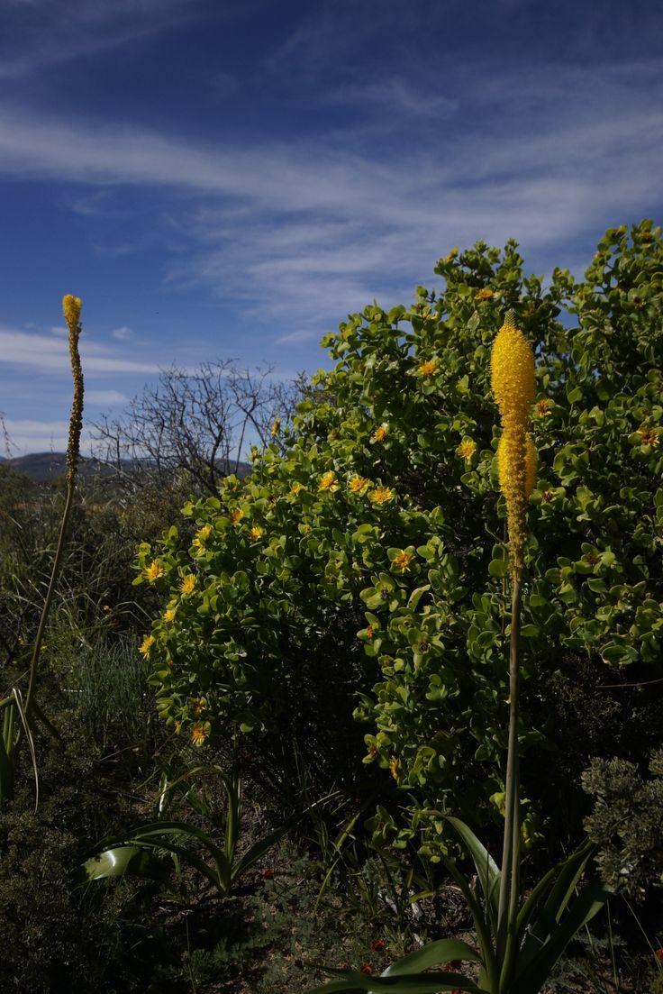 Cat's Tails - Namaqualand