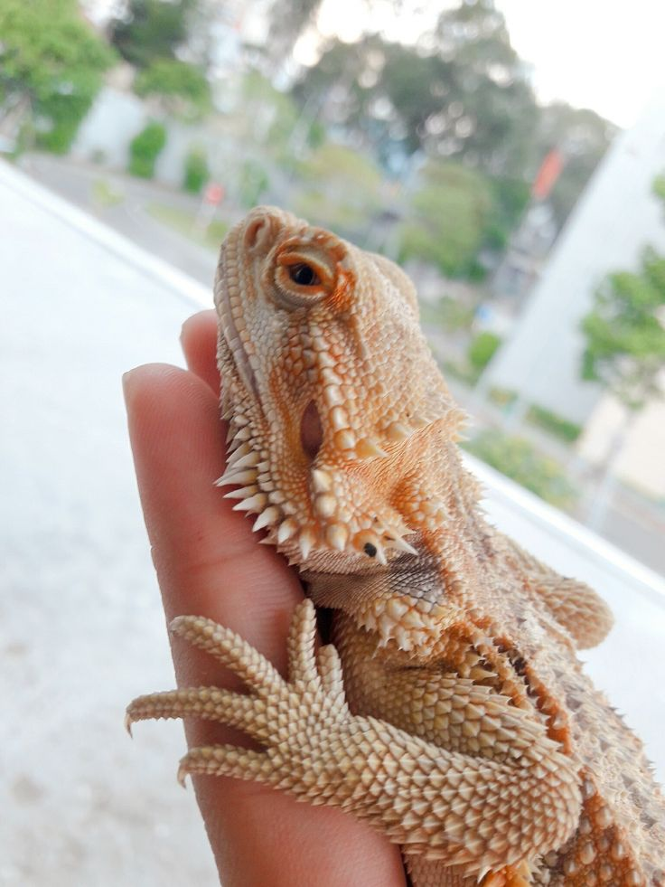 My bearded dragon sleeping on my hand in 2020 Bearded