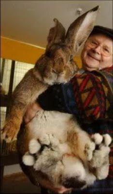 Conejo Gigante: totalmente increible!
