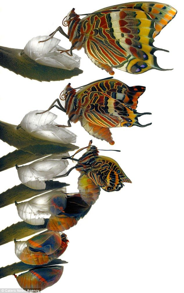 Wildlife enthusiast Jimmy, who is a professional artist, raised the Charaxes jasius or Foxy Emperor from a caterpillar and waited until they formed a chrysalis.