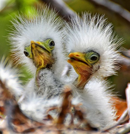 Baby birds are so ridiculous,...  Great egrets rocking the punk look!    Great Egret Chicks photo by Jeff Clow