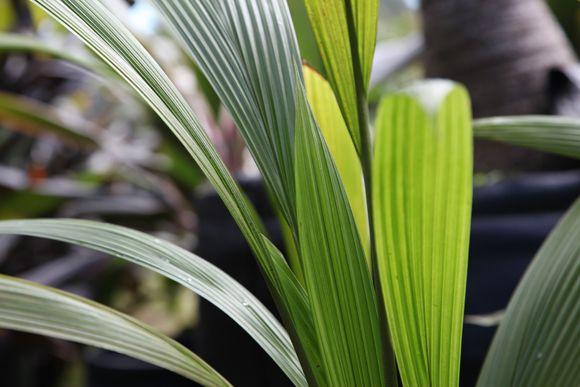 Palm Grass (Curculigo capitulata)
