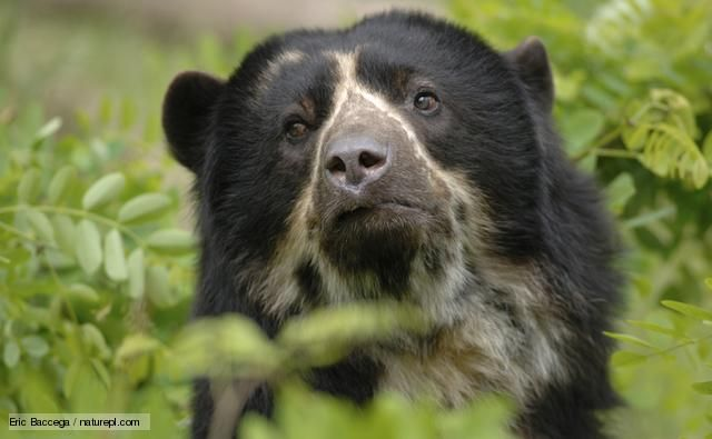 Spectacled bears (Tremarctos ornatus) are the last remaining representatives of the short-faced bears, and are the only bear species found in South America.
