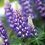Lupine draws the eye skyward with its gorgeously colored and interestingly structured flower spikes.