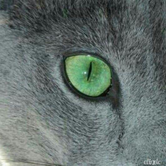 russianblue cat