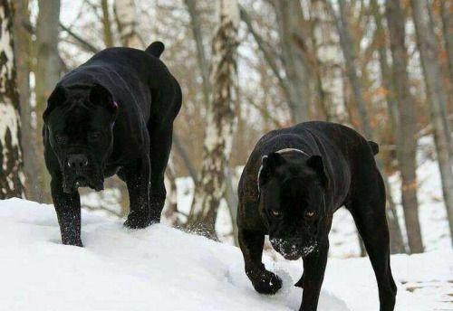 10 Deadliest Dog Breeds #dangerous #dogs #pets #deadliest http://incredibled.com/10-deadliest-dog-breeds/