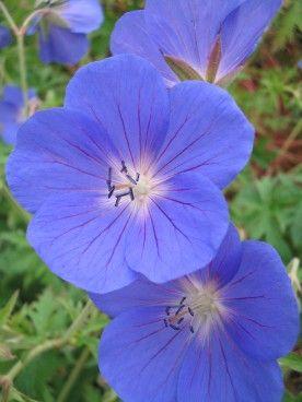 Geranium 'Brookside' - Ooievaarsbek