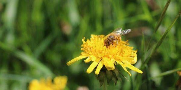 Perchè le api prediligono alcuni fiori ad altri? Il segreto del polline di tarassaco https://www.greenme.it/spazi-verdi/clorofilla/2849-il-segreto-del-polline-di-tarassaco-e-le-api