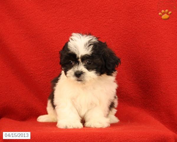 Dew - Shichon Puppy for Sale in Ephrata, PA - Shichon - Puppy for Sale