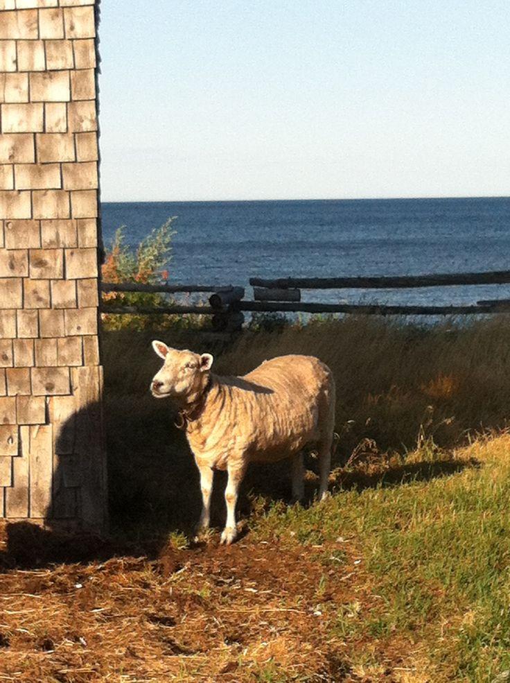 Sheep in my backyard by the sea!:)
