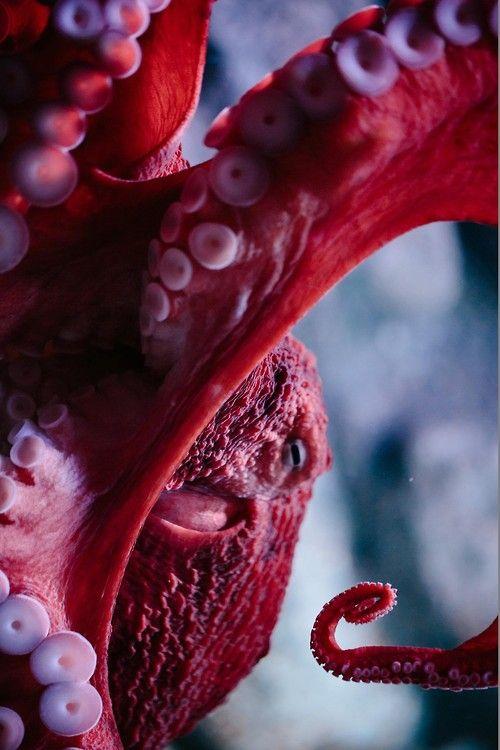earthandanimals:  Octopus byJohannes Kollender