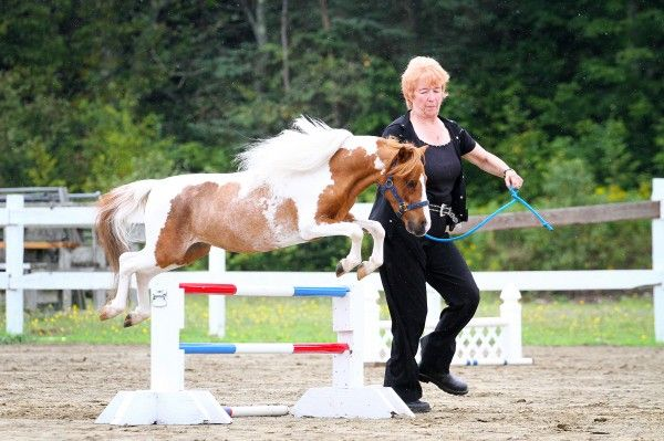 how to groom a miniature horse for show