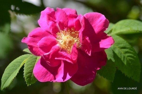 Rose, Rosa, Spring 2014, in the Garden.