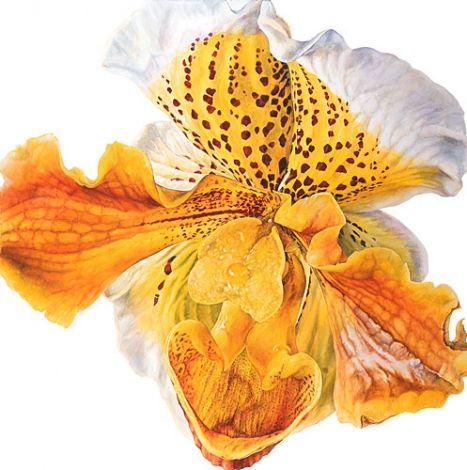 Rosie Sanders  Slipper Orchid