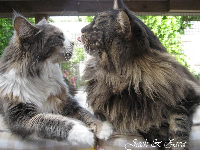 "Maine Coon, funny faced furry tails. ""let me, your make-up is al over your face"" NL* Lady Like Jumping Jack & NL* PR. D&P-Coons Ziva. Photo by #elliekruithof"