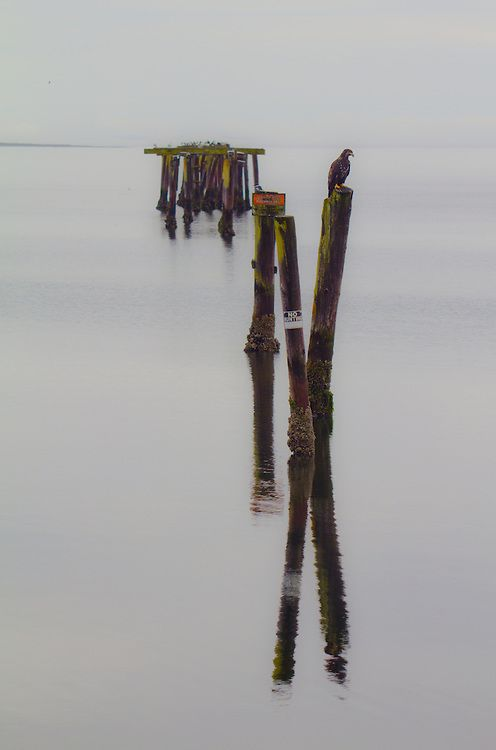 Puget Sound, Strait of Juan de Fuca, Dungeness Bay, immature bald eagle, kingfisher perched on derelict pilings, still water,