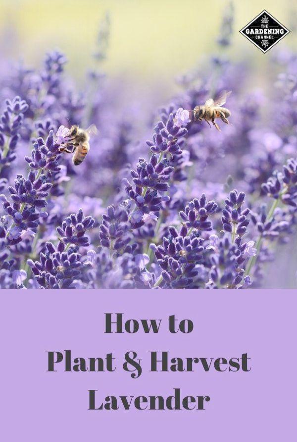 Herb Gardening Tips For Beginners Down Gardening Tips Hindi Tips And Tricks On Gardening Around Gardening Tips Fo Harvesting Lavender Plants Wildflower Garden