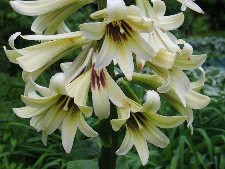 7 best kurinji flowers images on pinterest beautiful flowers bee the giant himalayan lily cardiocrinum giganteum solutioingenieria Choice Image