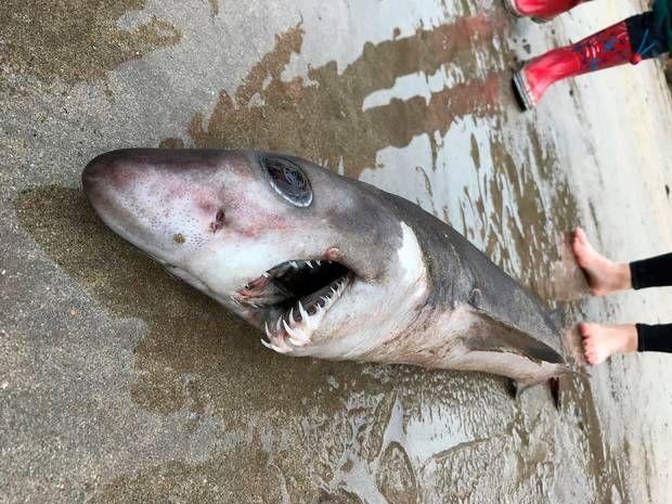 El tiburón cocodrilo (nombre científico pseudocarcharias kamoharai)es una especie de tiburón caballa que recibe su nombre por tener las fauces similares a las del reptil. Generalmente, vive en aguas tropicales alrededor del mundo, principalmente en la zona mesopelágica (aguas situadas entre 200 y 1000 metros de profundidad) delos mares de Brasil, Australia, Cabo Verde,Angola, Sudáfrica …