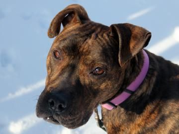 """""""Howdy. I'm Winona, and before I tell you who brought me to the SPCA, let me tell you a little bit about myself. I am a three-year-old Pit Bull Terrier who is a fun-loving, happy-all-the-time, glass-is-half-full kind of gal. Please come visit me at the SPCA, 205 Ensminger Road, Tonawanda and be sure to visit their website, YourSPCA.org! Want to know who brought me in now? The Buffalo Police! But don't worry, I wasn't in any kind of trouble. I was just a stray."""""""