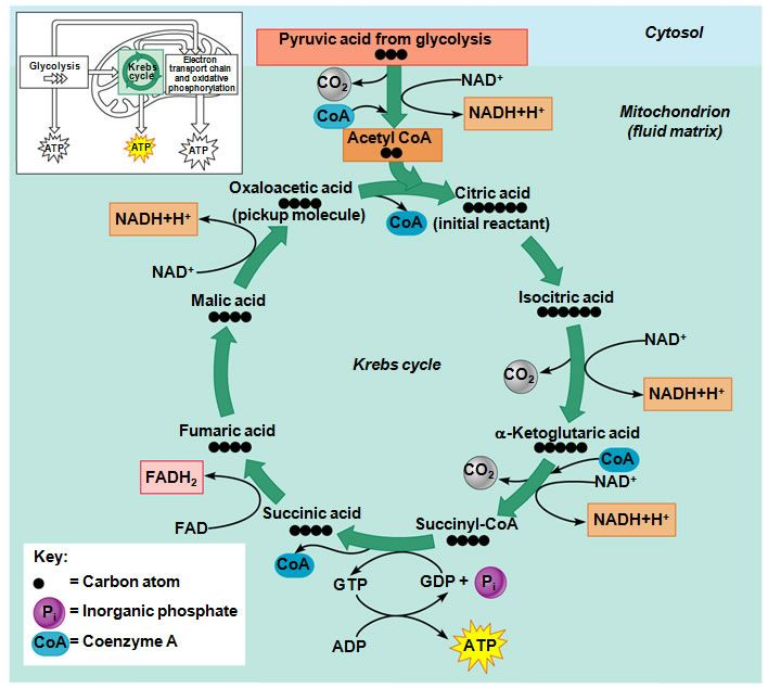 25 best images about The Krebs Cycle on Pinterest | Biology, Image ...