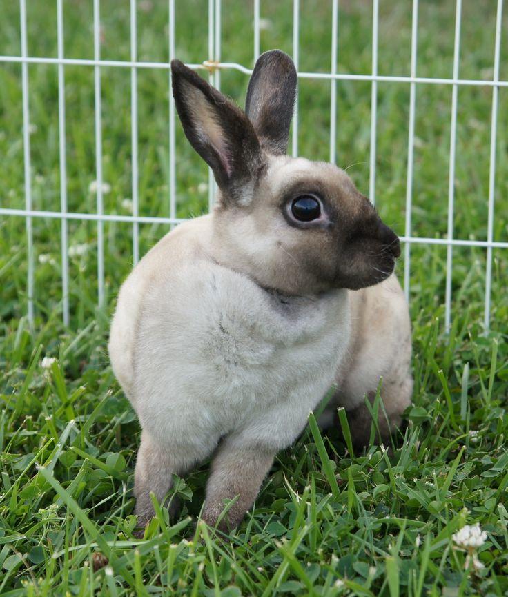mini rex bunnies - Google Search