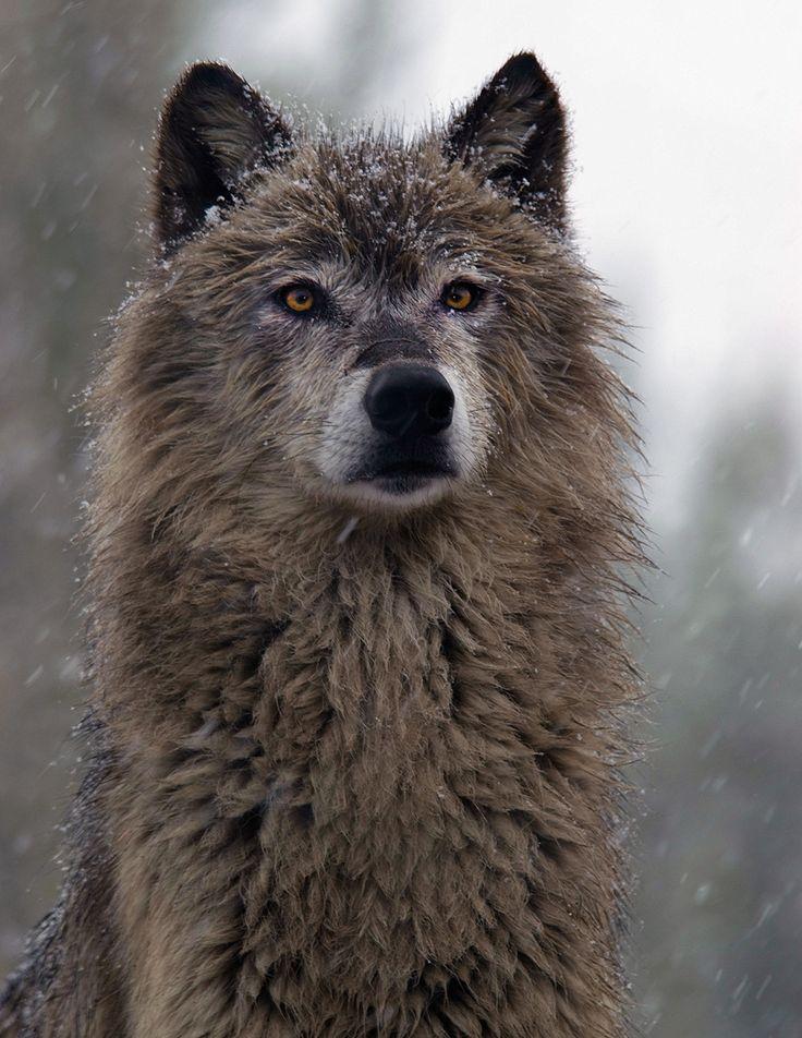 whisky-wilk: piękne-przyrody: Ciemny Szary Wilk przez dziewiczy Obrazy Wooly Woolf